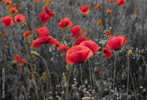 Fototapeta panorama of poppies and wild flowers, selective color, red and black  obraz na płótnie
