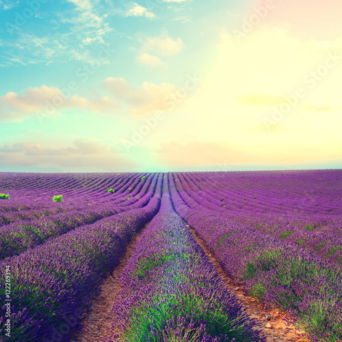 Foto op Aluminium Snoeien Lavender flowers field rows with summer blue and pink sunset sky with shining sun, Provence, France retro toned