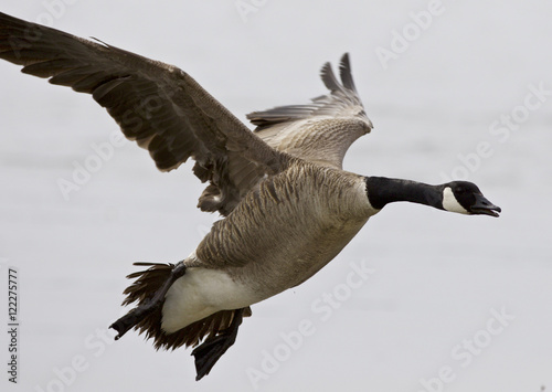 Fotografie, Tablou  Beautiful isolated photo of a flying Canada goose