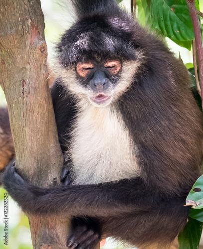 Photo Monkey sleeping