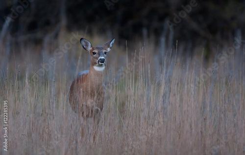 Canvas Print White-tailed deer walking through an autumn meadow in Ottawa, Canada