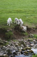 Three Lambs Walking Towards A Stream, Northumberland, England