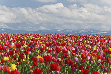 Variety Of Colored Tulips Growing In A Field With The Mountains In The Background At Wooden Shoe Tulip Farm, Woodburn, Oregon, United States Of America