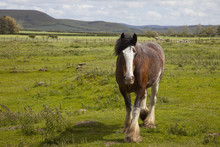 Clydesdale Horse In A Field, Northumberland, England