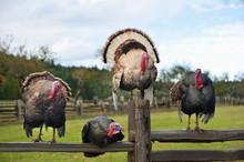 Four Turkeys Sitting On Wooden...