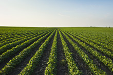 A Healthy Green Mid-season Soybean Field One Week After Being Sprayed With Herbicide, With Broadleaf Weeds Turning Brown And Dying In Between The Rows, Iowa, United States Of America