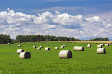 Large Round Hay Bales In An Alfalfa Field With Clouds And Blue Sky, Acme, Alberta, Canada