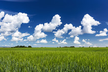 Green Barley Field With Clouds...