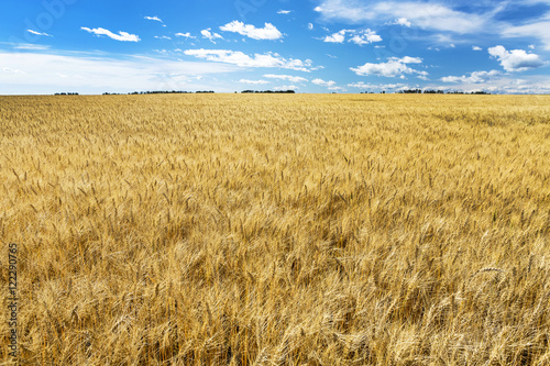 Foto op Canvas Cultuur Golden ripe wheat field with blue sky and clouds, Alberta, Canada