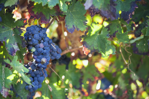 Grapes growing on a vine,Laguardia la rioja spain
