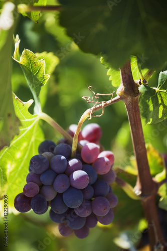 Grapes growing on a vine,La rioja spain
