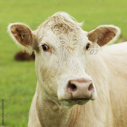 Close up of a cow standing in a green field, Manitoba, Canada