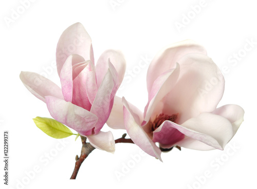 Printed kitchen splashbacks Magnolia magnolia flower