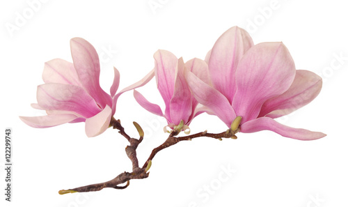Foto op Plexiglas Magnolia a branch of magnolia flower