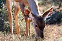 To Close Up - Greater Kudu - T...