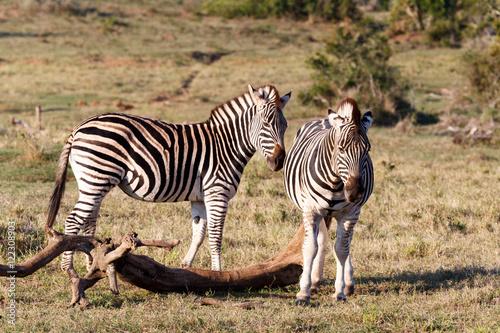 Papiers peints Hyène It is smelling - Burchell's Zebra