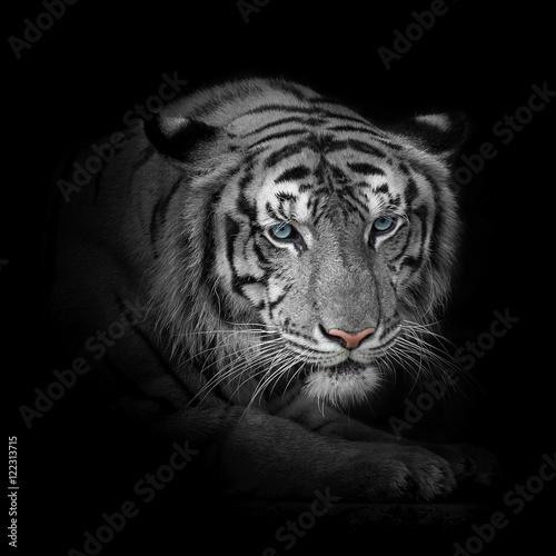 Deurstickers Luipaard White tiger