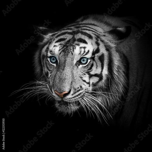 Keuken foto achterwand Tijger Tigers