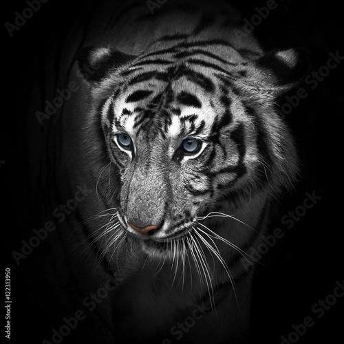 Deurstickers Luipaard Tigers