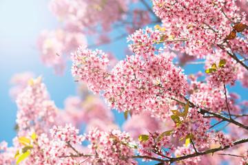 NaklejkaPink Sakura flower blooming.