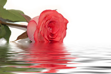 Red Rose Water Reflection White