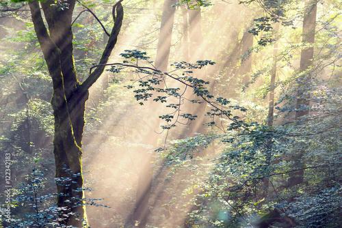 zlote-promienie-w-srodku-swierkowego-lasu