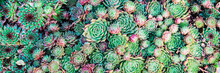 Succulents. Natural Background.