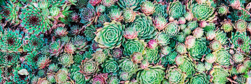 Poster Cactus Succulents. Natural background.