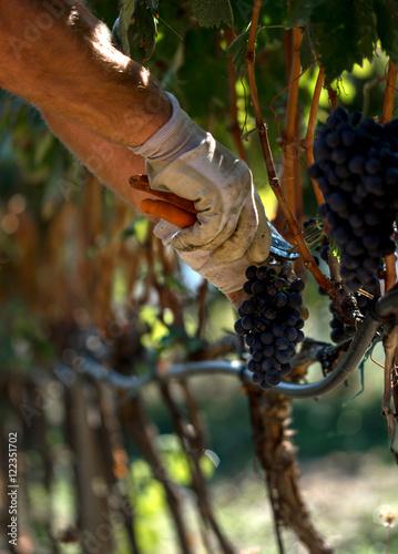 Stampe  Raccolta uva