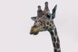 Żyrafa siatkowa - Afryka