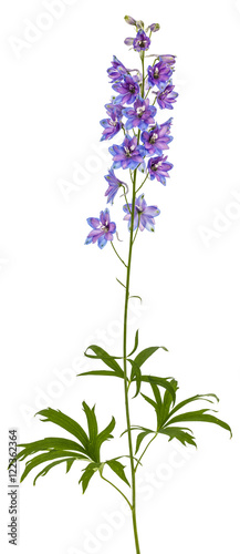 Fotografija Flower of Delphinium (Larkspur), isolated on white background