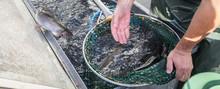 Fish Breeding Ponds