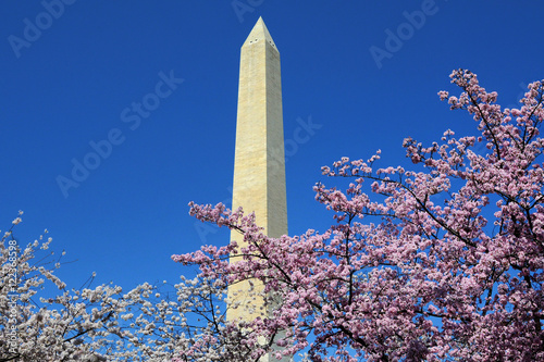 Fotografie, Obraz  Washington Monument, Cherry Blossoms