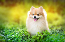 Cute Fluffy Pomeranian Dog Sitting In A Spring Park Surrounded B