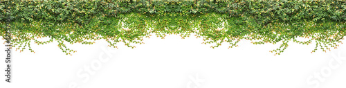 Fotografie, Obraz Fresh green ivy isolated on white background. Garden decoration