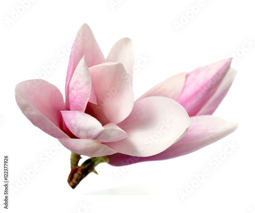 Foto op Plexiglas Magnolia pink magnolia