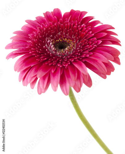 Deurstickers Gerbera bright pink gerbera isolated on white