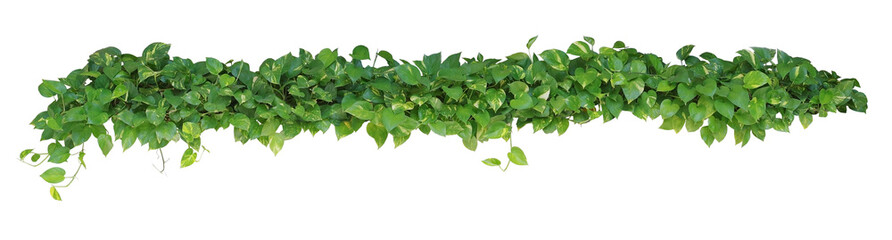 Heart shaped leaves vine plant bush of Devil's ivy or golden pothos  isolated on white background, clipping path included.
