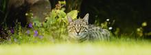 Wachsame Tieger Katze Im Garten
