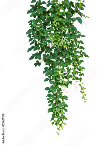 Leinwand Poster Wild climbing vine hanging plant, Bush grape ivy or Cayratia trifolia isolated on white background with clipping path
