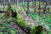Old Fallen Tree Stump In Green Moss In Great Forest, And Dry Lea