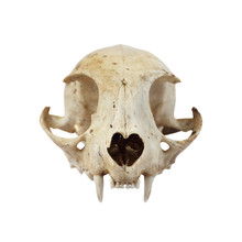 Cat Skull Full Face View Isolated On White Background In Square