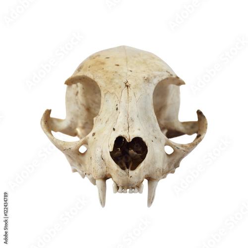 Fototapeta premium Cat skull full face view isolated on white background in square