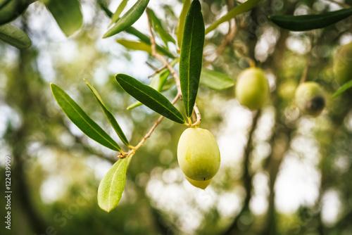Foto op Aluminium Olijfboom Olive branches on sunset in Mediterranean region