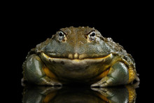 African Bullfrog Pyxicephalus Adspersus Frog Isolated On Black Background With Reflection, Front View