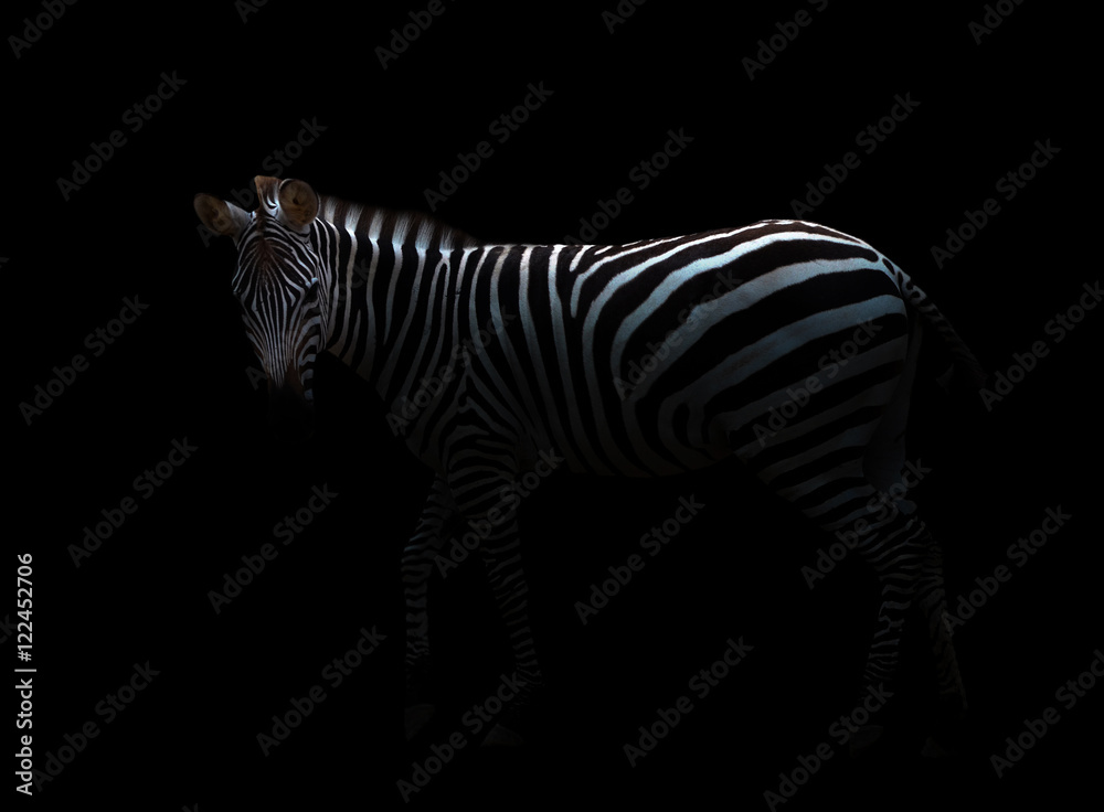 Fototapety, obrazy: zebra in the dark
