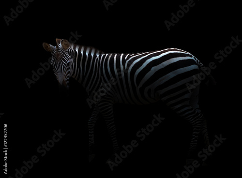Spoed Foto op Canvas Zebra zebra in the dark