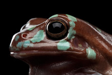 Close-up Eyes Of Australian Green Tree Frog, Or Litoria Caerulea With Spots Isolated On Black Background With Reflection, Top View