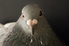Close Up Face Of Angry Pigeon Bird Photography By Low Light Styl