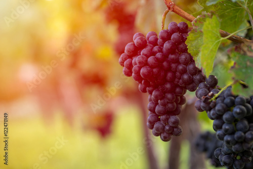 Tuinposter Wijngaard Detail view of vineyard with ripe grapes at sunset. Beautiful grapes ready for harvest. Golden evening light. Shallow depth of field.